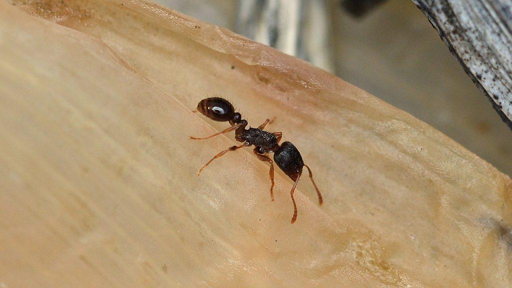 fourmi de pavé