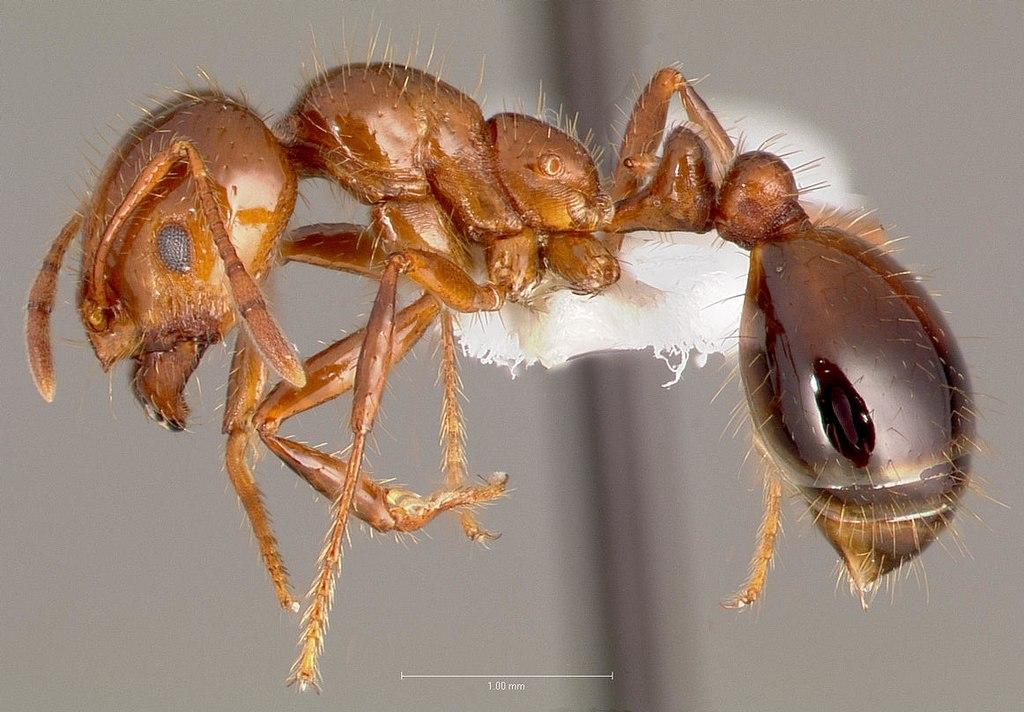 fourmi rouge europeenne