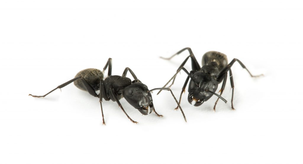 exterminateur fourmis